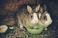 Two rabbits in stable - MJ000443
