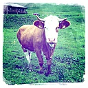 Cow on the pasture, Bavaria, Germany - ONF000246