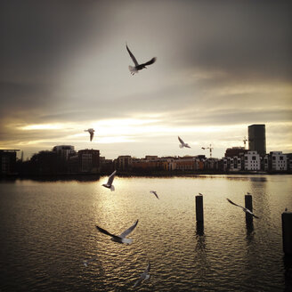 Gulls over the river Spree at sunset. Berlin, Germany. - ZMF000057