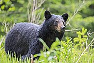 Canada, Rocky Mountains, Alberta. Jasper National Park, American black bear (Ursus americanus) on a meadow - FO005508