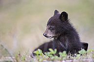 Canada, Rocky Mountains, Alberta. Jasper National Park, American black bear (Ursus americanus), bear cub on meadow - FOF005506