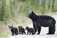 Canada, Rocky Mountains, Alberta. Jasper National Park, American black bear (Ursus americanus) with bear cubs crossing a road - FOF005504