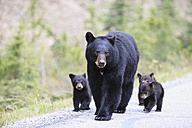 Canada, Rocky Mountains, Alberta. Jasper National Park, American black bear (Ursus americanus) with bear cubs walking on a road - FOF005503