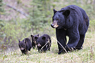 Canada, Rocky Mountains, Alberta. Jasper National Park, American black bear (Ursus americanus) with bear cubs walking on meadow - FO005502