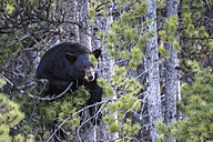 Canada, Rocky Mountains, Alberta. Jasper National Park, American black bear (Ursus americanus) in a tree - FOF005500