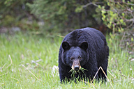 Canada, Rocky Mountains, Alberta. Jasper National Park, American black bear (Ursus americanus) eating grass - FOF005498