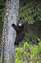 Canada, Rocky Mountains, Alberta. Jasper National Park, American black bear (Ursus americanus) bear cub climbing on tree - FOF005497