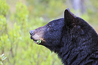 Canada, Rocky Mountains, Alberta. Jasper National Park, American black bear (Ursus americanus), head, close-up - FOF005493