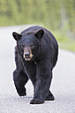 Canada, Rocky Mountains, Alberta. Jasper National Park, American black bear (Ursus americanus) walking on a road - FOF005490
