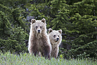 Canada, Alberta, Jasper and Banff National Park, Two young Grizzly bears - FOF005574