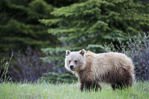 Canada, Alberta, Jasper and Banff National Park, Young Grizzly bear - FOF005570