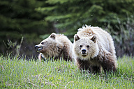 Canada, Alberta, Jasper and Banff National Park, Two young Grizzly bears - FOF005562