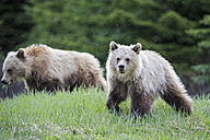 Canada, Alberta, Jasper and Banff National Park, Two young Grizzly bears - FO005578