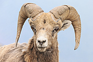 Canada, Alberta, Rocky Mountains, Jasper National Park, Banff Nationalpark, portrait of rocky mountain bighorn sheep (Ovis canadensis) in front of blue sky - FOF005542
