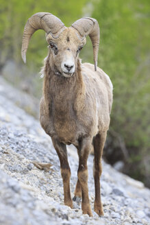 Canada, Alberta, Rocky Mountains, Jasper National Park, Banff Nationalpark, portrait of rocky mountain bighorn sheep (Ovis canadensis) standing on a rock - FOF005550