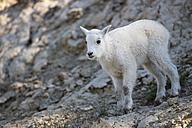 Canada, Alberta, Rocky Mountains, Jasper National Park, Banff Nationalpark, young mountain goat (Oreamnos americanus) - FOF005554