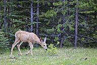 Canada, Alberta, Rocky Mountains, Jasper National Park, Banff Nationalpark, mule deer (Odocoileus hemionus) standing on a clearance - FOF005551