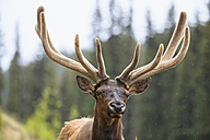 Canada, Alberta, Rocky Mountains, Jasper National Park, Banff Nationalpark, wapiti (Cervus canadensis) - FOF005530
