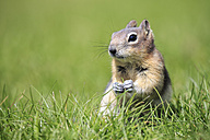 Canada, Alberta, Rocky Mountains, Jasper National Park, Banff Nationalpark, Canada, Alberta, Rocky Mountains, Jasper National Park, Banff Nationalpark, golden-mantled ground squirrel (Callospermophilus lateralis) sitting on a meadow - FOF005586