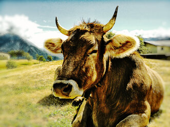 Italy, near Lake Como, Alm with ruminating cow - SRSF000428