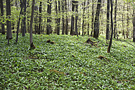 Germany, North Rhine-Westphalia, Eifel, Ramsons (Allium ursinum) in beech forest (Fagus) - GW002454