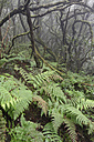 Spain, Canary Islands, La Palma, Cumbre Nueva, Cloud forest - SIEF004956