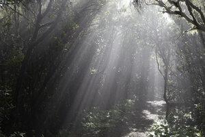 Spain, Canary Islands, La Palma, Cumbre Nueva, Cloud forest - SIEF004952
