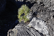 Spain, Canary Islands, La Palma, Coladas de San Juan, Cumbre Vieja, Pine tree in lava flow - SIEF004944