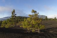 Spain, Canary Islands, La Palma, Llano de Jable near El Paso, Pine trees in storm - SIEF004940