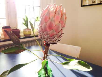 Protea blooming in a bottle at home, Bonn, NRW, Germany - MEAF000051