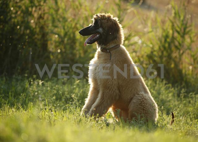Afghan hound, puppy, sitting on a meadow - SLF000277