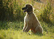 Afghan hound, puppy, sitting on a meadow - SLF000277