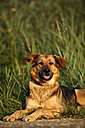 Portrait of German shepherd mongrel lying on a meadow - SLF000265