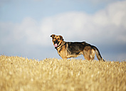 German shepherd mongrel standing on a stubble field in front of sky - SLF000262