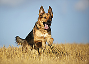 German shepherd mongrel running on a stubble field in front of sky - SLF000269