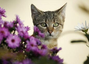 Portrait of tabby kitten in between blossoms - SLF000247