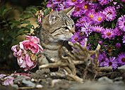 Tabby kitten in between blossoms - SLF000253