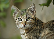 Portrait of young tabby cat - SLF000259