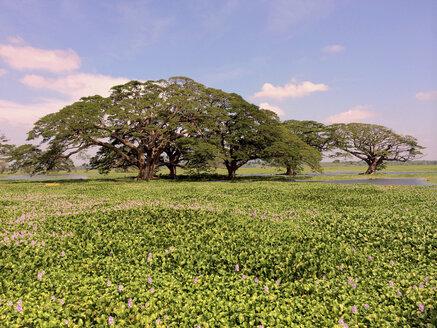 Landscape, water lilies field Tissamaharana, Sri Lanka - DRF000368