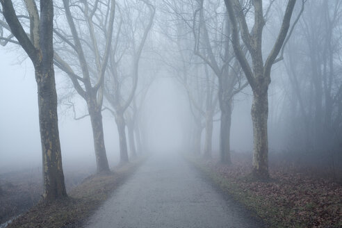 Germany, Baden-Wuerttemberg, Constance district, avenue of plane trees in fog - ELF000810