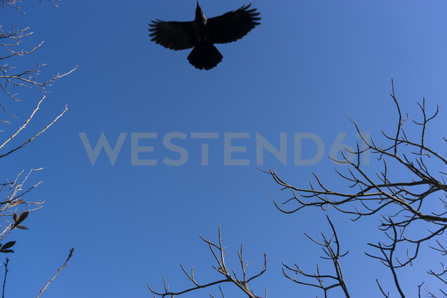 Japan, blackbird in the blue sky - FLF000356 - Florian Löbermann/Westend61
