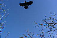 Japan, blackbird in the blue sky - FLF000356