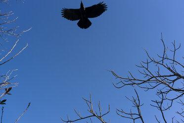 Japan, blackbird in the blue sky - FLF000356