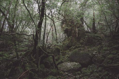 Japan, Rainforest of the Island Yakushima, Unesco World Heritage Natural Site - FL000364