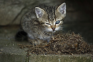 Tabby kitten (felis silvestris catus) with one eye open and one closed - SLF000254