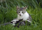 Cat with kittens (felis silvestris catus) lying on grass - SLF000275