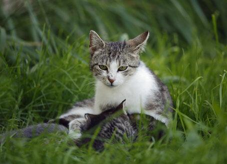 Cat with kittens (felis silvestris catus) lying on grass - SLF000275