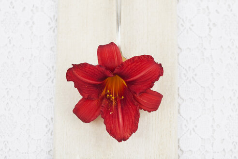 Blossom of red daylilly (Hemerocallis) on spoon and wooden board, close-up - GWF002499