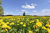 Germany, Bavaria, East Allgaeu, Bernbeuren, view to meadow covered with dandelions (Taraxacum officinale) - GNF001283