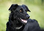 Germany, Baden-Wuerttemberg, black dog, mongrel, portrait - SLF000294